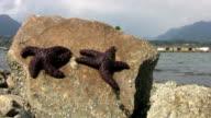 Purple Starfish Baking In The Sun (HD 1080p30) video