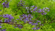 Purple tree blossoms nature background video