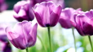 HD: Purple tulips flutter in the wind (video) video