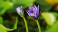 Purple waterlily blooming timelapse video
