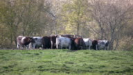 Pushy cow at the feeder. video