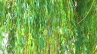 HD Pussy-willow branches with reflections from the water, closeup video