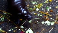 Pygmy hippo ,baby video
