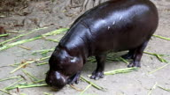 pygmy hippopotamus video