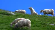 Pyrenean mountain dog protecting sheep, Pyrenees, France video