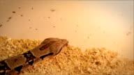 Python in captivity crawling along border of enclosure video