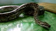 Python in captivity video