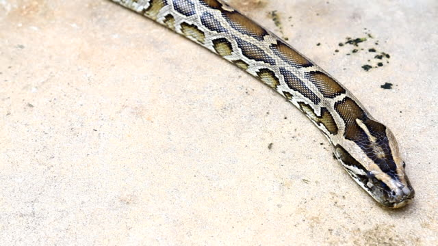 Python slithering on the ground video