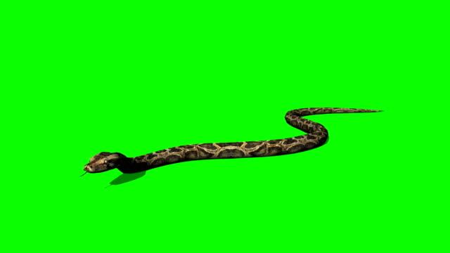 python snake crawls - green screen video