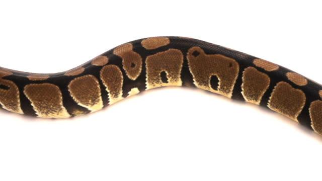 Python Snake Creeping video