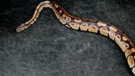 Python Snake Grunge Background video