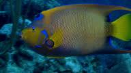 Queen Angel fish over reef in Caribbean video