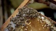 Queen bee on a honeycomb video