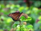 Queen Butterfly 1 NTSC video