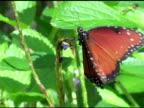 Queen Butterfly 2 NTSC video