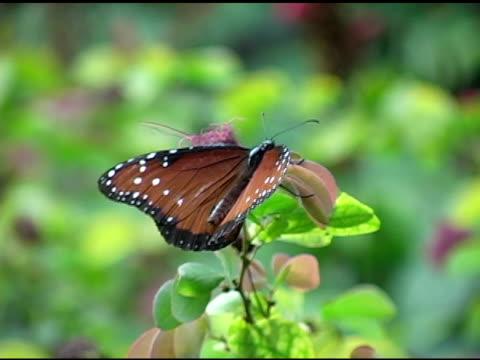 Queen Butterfly 3 NTSC video