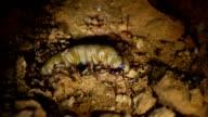 Queen Termite. video
