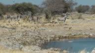 quelea and zebra video