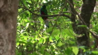 Quetzal male - Costa Rica wildlife video