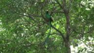 Quetzal male in a tree video