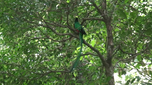 Quetzal male in a tree video