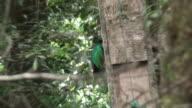 Quetzal male in an artificial nest video