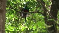 Quetzal male video