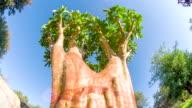 LA DS Quiver Tree video
