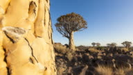 Quiver Trees in Namibia video