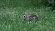 Rabbit 7-1: HD 1080/60i video