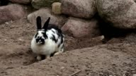 Rabbit digs passages near cave video