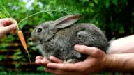 Rabbit. Feeding animal video