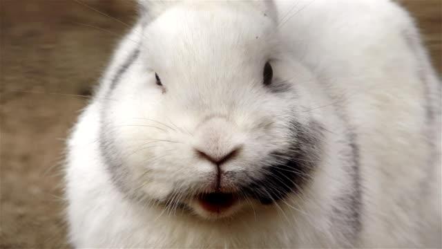 Rabbit masticates video