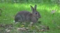 Rabbit nibbling grass. video