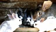 Rabbits in farm video