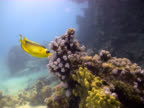 Raccoon Butterflyfish eating on a coral reef video