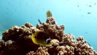 Raccoon Butterflyfish video