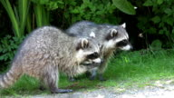 Raccoons Eating By The Roadside video