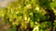 Rack focus on a vineyard. video