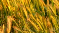 Rack Focus on swaying grass in field video