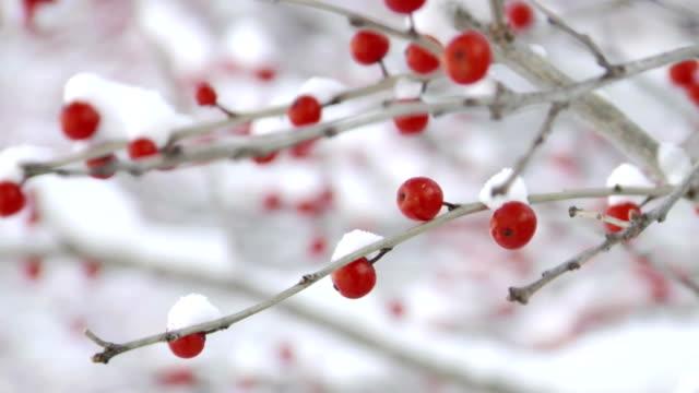Rack focus on winterberries video