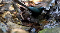 Racket-tailed Treepie drinking water video
