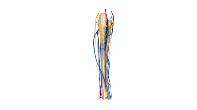 Radius and Ulna with Arteries, veins and nerves video