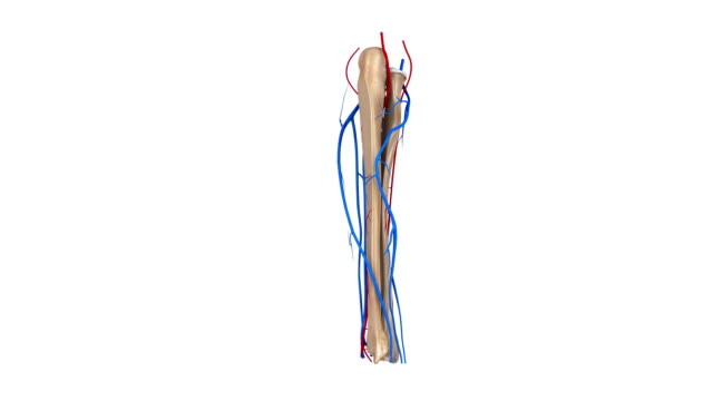 Radius and Ulna with Arteries video