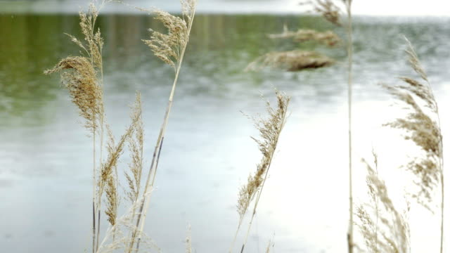 Rain drops fall on lake's surface and form circles. Grass floating in wind. video