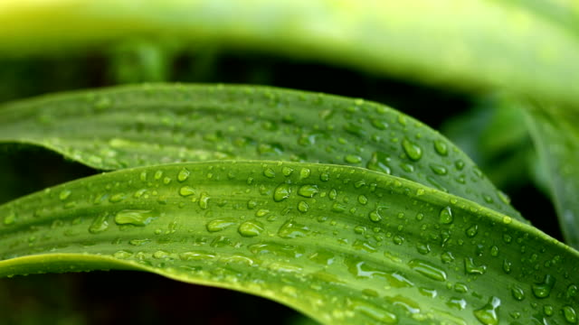 Rain drops on green leaf nature video