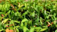 Rain drops on green leaf nature video