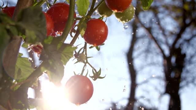 SLO MO Rain Drops Splashing Agains Tomatoes video