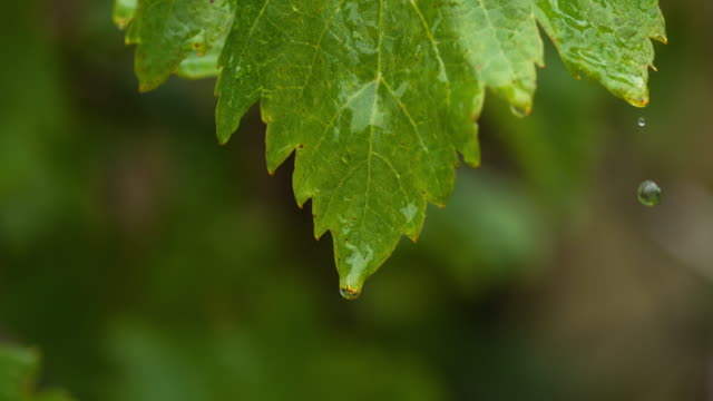 Rain falling From Grapevine's Leaf, Normandy, Slow motion 4K video