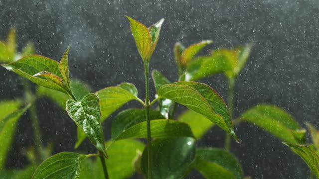Rain falling From Leaf, Normandy, Slow motion 4K video